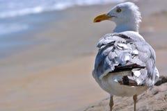 Seemöwe, die auf Strand steht Stockbild