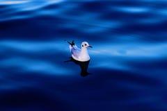 Seemöwe, die in das blaue Meer schwimmt Stockfotografie