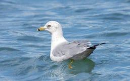 Seemöwe, die in den See schwimmt Lizenzfreie Stockfotos