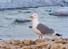 Seemöwe, die den Strand bereitsteht Lizenzfreie Stockfotos