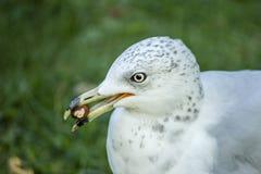 Seemöwe, die eine Walnuss isst lizenzfreies stockbild