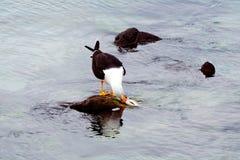 Seemöwe, die einen Fisch isst Lizenzfreies Stockbild