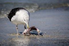 Seemöwe, die einen Fisch isst lizenzfreie stockfotos