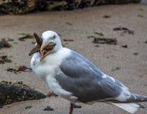 Seemöwe, die einen Starfish isst Stockfotografie