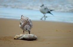 Seemöwe, die einen toten Fisch isst Lizenzfreies Stockfoto