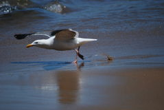 Seemöwe, die fertig wird zu fliegen Lizenzfreies Stockbild