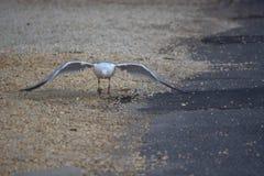 Seemöwe, die Flug nimmt Stockfoto