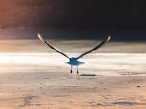 Seemöwe, die Flug vom Eis nimmt lizenzfreie stockfotografie