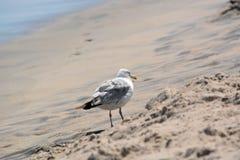 Seemöwe, die im Sand steht Stockfotos