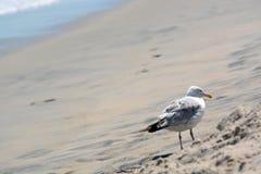 Seemöwe, die im Sand steht Stockfoto