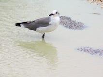 Seemöwe, die im seichten Wasser steht stockbild