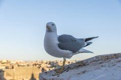 Seemöwe, die Kamera in Rom, Italien betrachtet Lizenzfreie Stockbilder