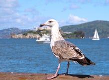 Seemöwe, die vor Alcatraz-Insel aufwirft lizenzfreies stockbild