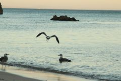 Seemöwe durch das Meer Stockbilder