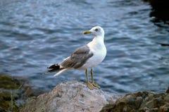 Seemöwe durch das Meer Lizenzfreie Stockbilder