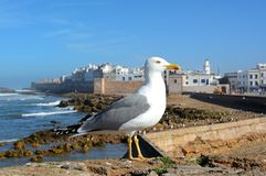 Seemöwe in Essaouira, Marokko Stockfoto