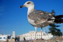 Seemöwe. Essaouira, Marokko Lizenzfreie Stockfotografie