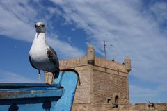 Seemöwe in Essaouira Marokko Stockbild