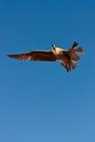 Seemöwe-Flugwesen Stockfotos