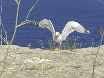 Seemöwe in Formentera Stockfotos