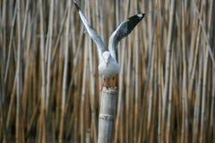 Seemöwe geflügelt Stockfoto
