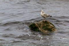 Seemöwe gestanden auf einem nassen Felsen Stockfotos