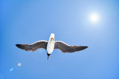 Seemöwe im blauen Himmel Stockfoto