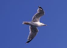 Seemöwe im Flug Stockfoto