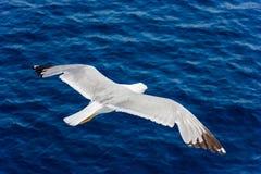 Seemöwe im Flug Lizenzfreies Stockfoto