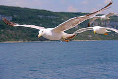Seemöwe im Flug kroatien Lizenzfreie Stockfotos