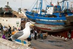 Seemöwe im Hafen in Marokko stockfotos