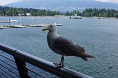 Seemöwe im Hafen von Vancouver Lizenzfreies Stockbild