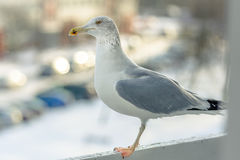Seemöwe isst an meinem Balkon zu Mittag Lizenzfreie Stockfotografie