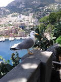 Seemöwe in Monte Carlo Stockfoto