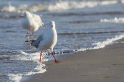 Seemöwe nah oben auf der Strand-Küstenlinie, die Kamera betrachtet Lizenzfreie Stockbilder