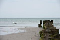 Seemöwe, Nasentauchen in dem Meer lizenzfreies stockbild