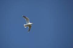 Seemöwe oben im blauen Himmel lizenzfreie stockfotos