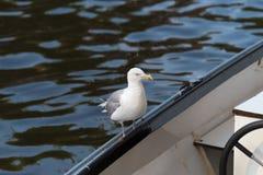 Seemöwe am Rand eines Bootes lizenzfreie stockfotos