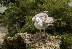 Seemöwe sitzt auf einem Stein und schaut vorwärts lizenzfreies stockfoto