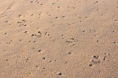 Seemöwe-Spuren im Sand Stockfotos