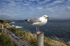 Seemöwe steht auf einem fencepost durch den Ozean in Irland stockfotos