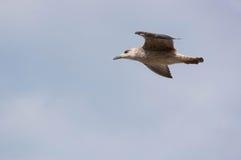 Seemöwe u. x28; Gull& x29; , Adriatisches Meer Lizenzfreie Stockfotos