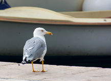Seemöwe u. x28; Gull& x29; , Adriatisches Meer Stockbild