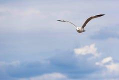 Seemöwe u. x28; Gull& x29; , Adriatisches Meer Stockfoto