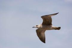 Seemöwe u. x28; Gull& x29; , Adriatisches Meer Stockfotos