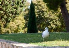 Seemöwe u. x28; Gull& x29; , Adriatisches Meer Lizenzfreie Stockfotografie