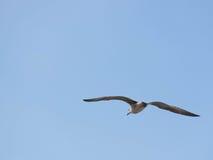 Seemöwe u. x28; Gull& x29; , Adriatisches Meer Lizenzfreie Stockbilder