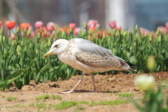 Seemöwe und Tulpen Stockfoto