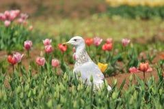 Seemöwe und Tulpen Lizenzfreie Stockbilder