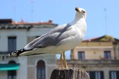 Seemöwe in Venedig, Italien Stockfotos